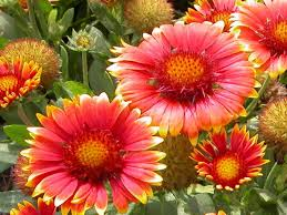 Very Pretty Flowers - the blanket flower gaillardia primavera is extremely hardy