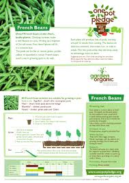 growing french beans in a pot teacher guide organic gardening