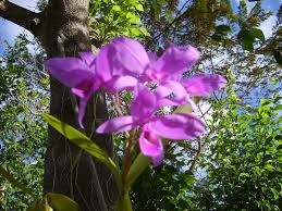 guaria morada national flower of costa rica pictures