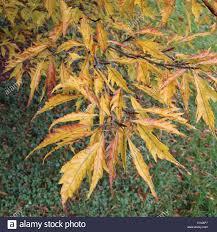 fagus sylvatica fagus sylvatica u0027asplenifolia u0027 cut leaved or fern leaved beech