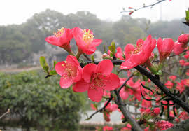 deciduous tree armeniaca mume seeds 180pcs meihua plum