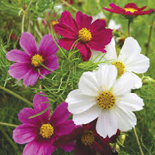 Good Vase Cosmos Versailles Mix Seed Annual Mixed Colour Blooms Cut Flower