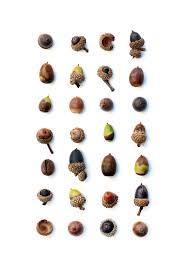 acorns jo hoffman still on white seeds
