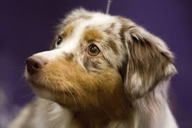 australian shepherd kennel club westminster kennel club competition adds 7 new breeds this year