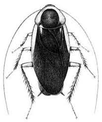 blattodea cockroaches
