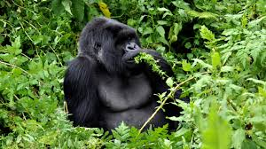 culture u0026 wildlife of uganda u0026 rwanda until december from jan 18