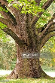 oak stock photos and pictures getty images