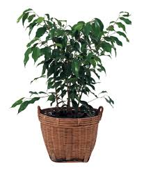 Fragrant Indoor Plants Low Light - 6 indestructible indoor plants sa garden and home