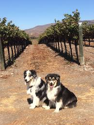 australian shepherd kid friendly news