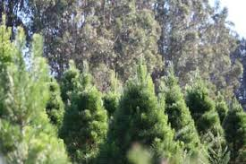 you u0027ll find beautiful christmas trees at little hills farm in