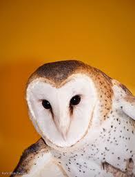 barn owl fat finch u2014 backyard birds birding u0026 blogging