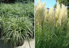 ornamental grasses and decorative grasses buy uk