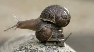 Where Can You Find Snails In Your Backyard Jeremy The Snail Is Rare Lonely And Looking For Love Home As