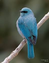 Verditer Blue Verditer Flycatcher Eumyias Thalassinus Verditer Flycatcher