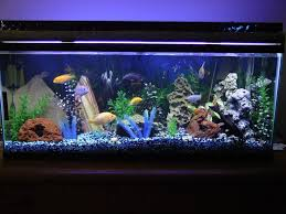 14 best cichlid images on pinterest 55 gallon cichlids and