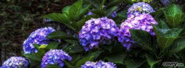 Purple Hydrangea Hydrangea Facebook Covers Covry Com