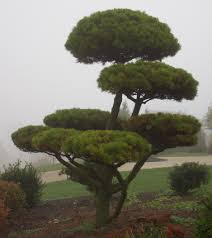 Decorative Pine Trees Shrub Photos Of Topiary Spirals Pom Poms And Unusual Shrubs In