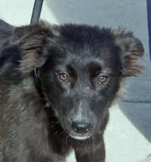 australian shepherd joliet i found diamond on australian shepherd australian shepherd dogs