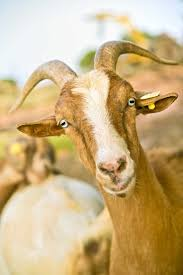 how to choose a healthy goat sustainable farming mother earth news