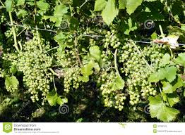 wine grapes at the trellis stock image image of fruits 33799129