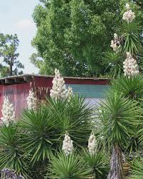 when yucca stops blooming and flushing fertilizer build up from