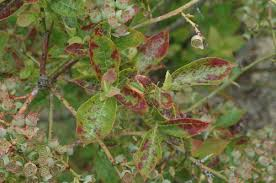 Plant Diseases With Pictures - blueberry vaccinium corymbosum shock pacific northwest pest