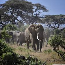 apple wallpaper elephant leader of the elephants 4k hd desktop wallpaper for 4k ultra hd