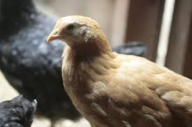 our new chickens and how to introduce young chickens into your