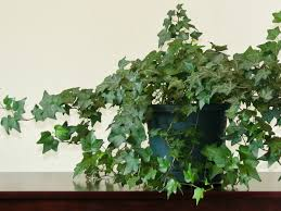 hanging house plants bridal veil hanging houseplant with green
