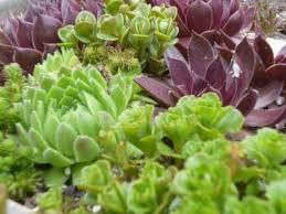 Gardening Zones Canada - 39 best succulents canada images on pinterest cacti succulent
