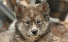download wallpaper 1920x1200 husky puppy spotted muzzle