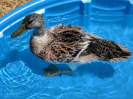 can someone please tell me what kind of ducks i have backyard