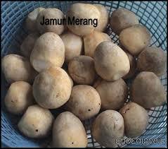 Sho Jamur sho jamur produk archive umkm jogja budidaya jamur panduan