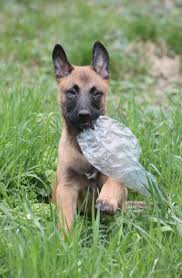 belgian shepherd ears 16 best malinois u003c3 images on pinterest german shepherds