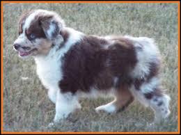 8 week old mini australian shepherd mini aussie pup for sale 2014 litter 5 callie pup 5 red merle
