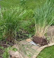 dividing ornamental grasses garden grasses