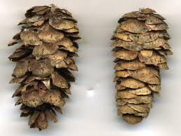 white pine cone spruce white