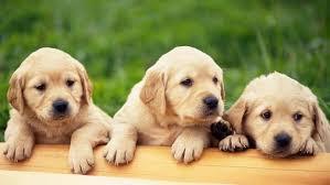 28 pictures golden retriever puppies brighten