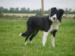 non working border collie kate needs a home wigton cumbria