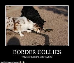 Border Collie Meme - 67 best border collie tribe images on pinterest beautiful