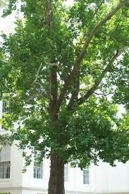 sycamore tree on alabama capitol grounds this tree came from