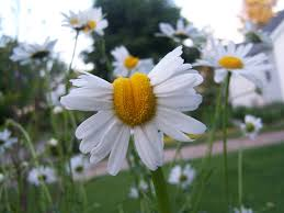 this is what daisies look like near fukushima 4 years after the