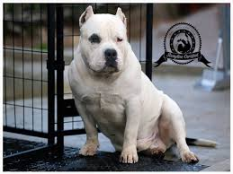 american pitbull terrier a legacy in gameness 5 of the most famous american bully breeders u2022 american bully dog
