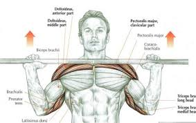 Muscles Used When Bench Pressing This Forgotten Exercise Is Possibly The Best Muscle Building