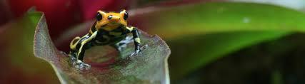 the poison arrow frog and the bromeliad rainforest alliance
