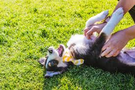 life with australian shepherd ruffined spotlight tucker the mini aussie pup seattle refined