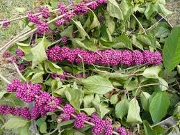 native plants of south florida gardening south florida style fast growing shrubs in south florida i