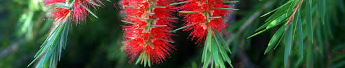 australian native plants online online plant nursery darwin suppliers of tropical u0026 native plants