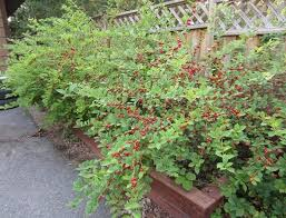 unraveling variations of the cherry bush from ornamental to