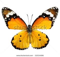 plain tiger butterfly stock images royalty free images vectors